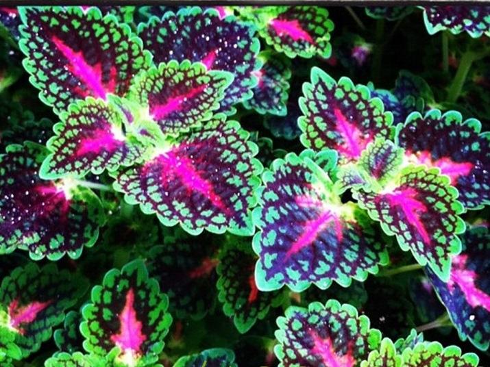 Колеус Радуга красивая радуга цвета хамелеона