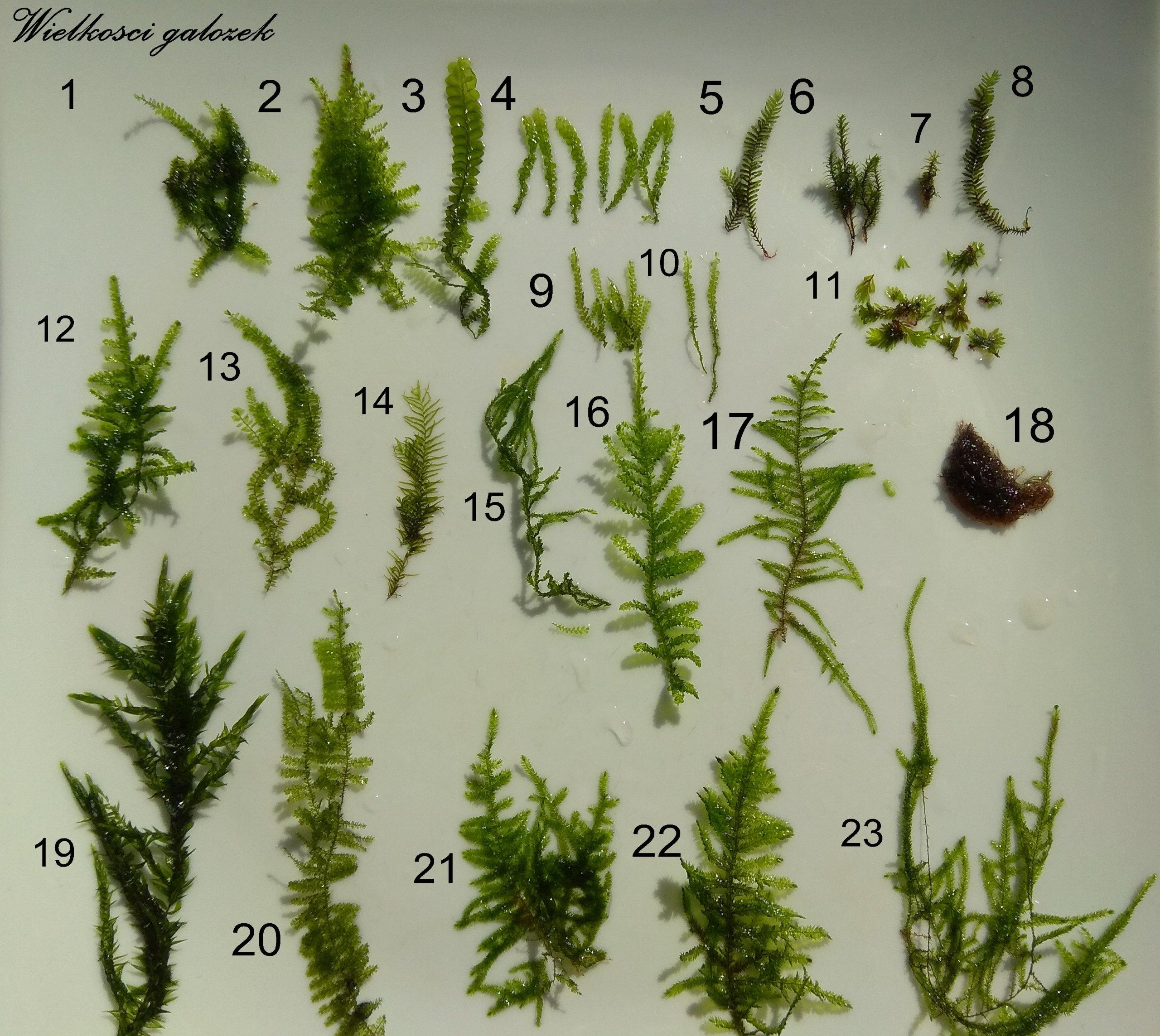 Moss Moss 23 odrôd veľké objemy z fibell