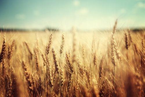 Fototapeta na Wymiar złote pola pszenicy