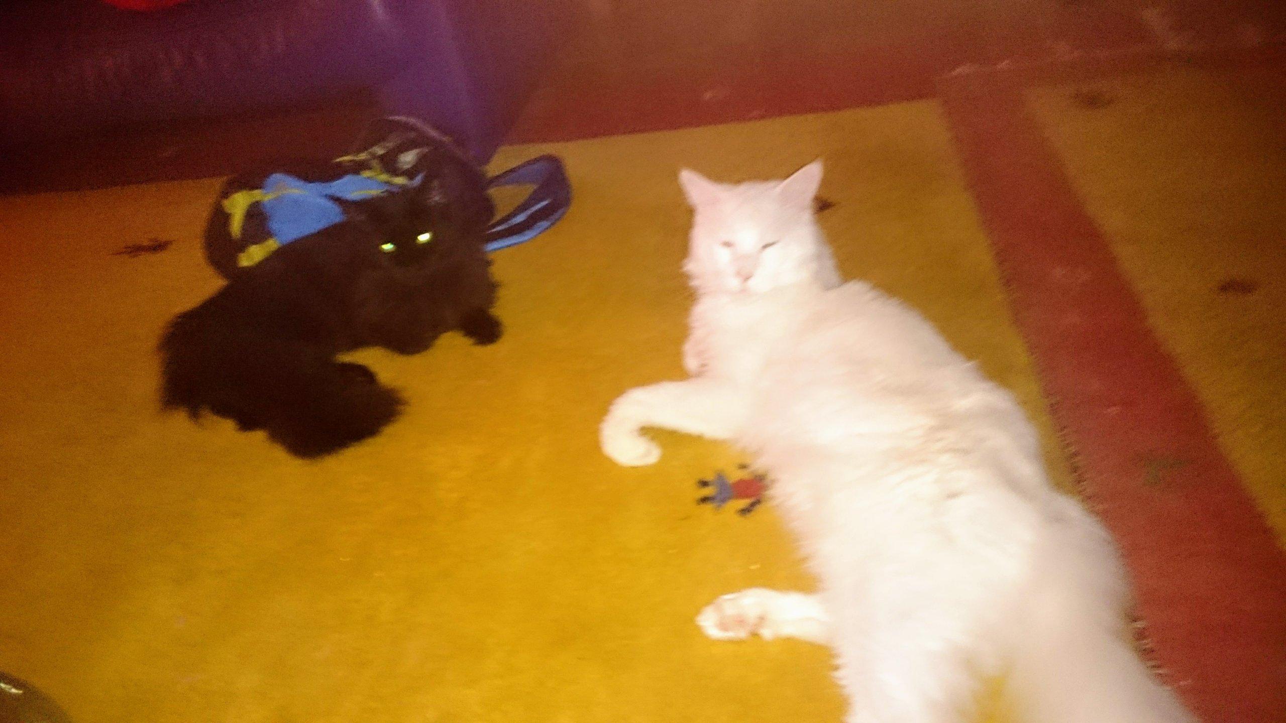 Koty Rasy Maine Coon Parka Czarna Kotkabiały Kot 6956355481