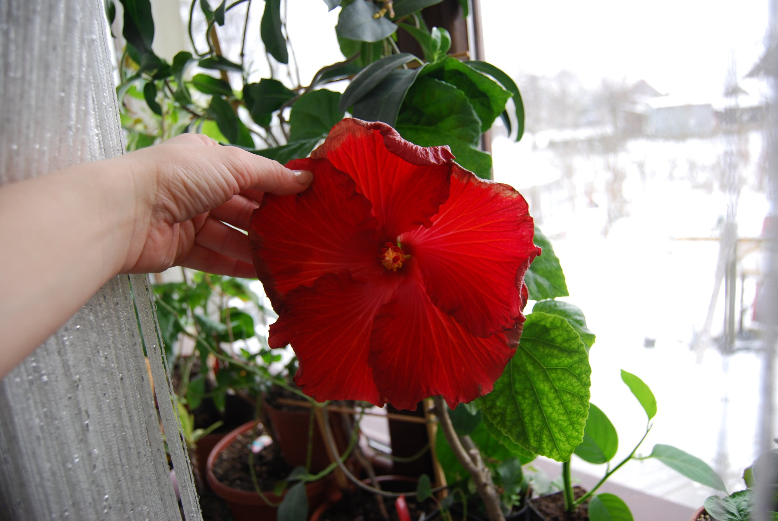 Hibiskus  Dalen's Ellen Venhuis Oooogromne kwiaty