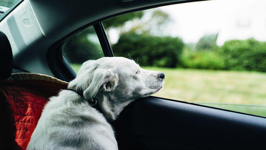 Pies w samochodzie – jak go przewozić
