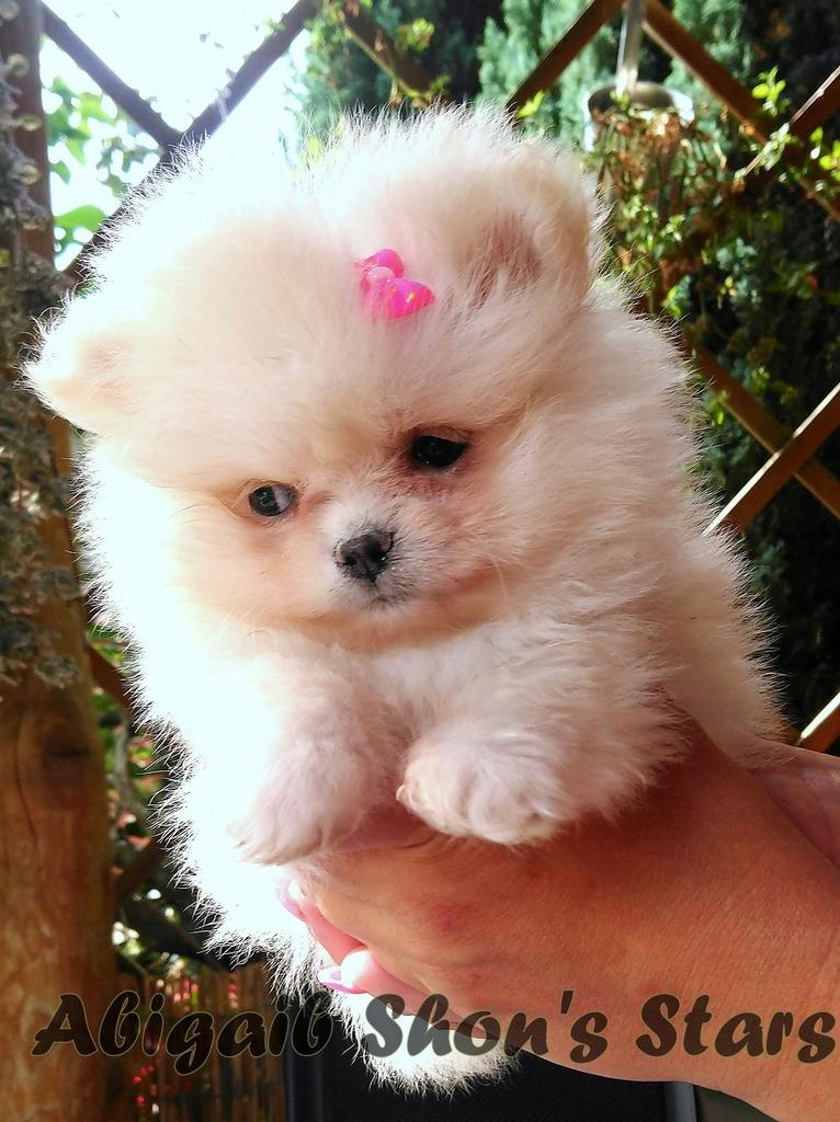 Pomeranian szpic miniaturowy kremowy