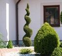 Thuja SZMARAGD zielony SPIRALA tuja 130-150cm C5