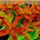 Rośliny do akwarium Proserpinaca Palustris rarytas