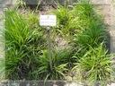 TRAWA ŻUBROWA ŻUBRÓWKA EKO SADZONKI TURÓWKI XXL ! Roślina w postaci sadzonka w pojemniku 0,5-1l