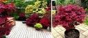 CZERWONY KLON PALMOWY ATROPURPUREUM DUŻE SADZONKI Roślina w postaci sadzonka w pojemniku 0,5-1l
