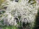 Tawuła szara 'Grefsheim' Biały kwiat