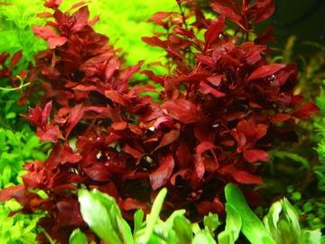 Растения в аквариум Ludwigia Mini Super Red XL доставка товаров из Польши и Allegro на русском