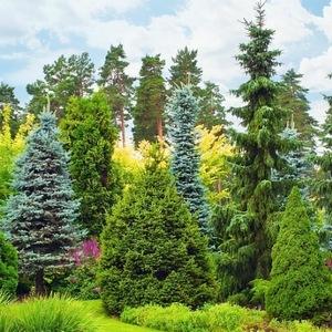 Wysokie rośliny iglaste do ogrodu