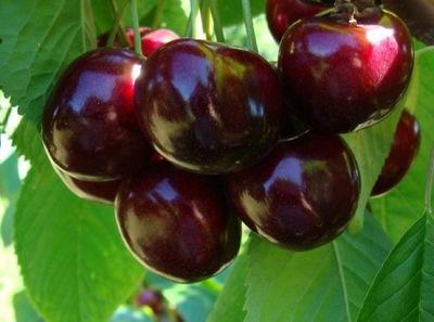 Черешня УКРАИНСКАЯ особенная, фрукты ГИГАНТСКИЕ